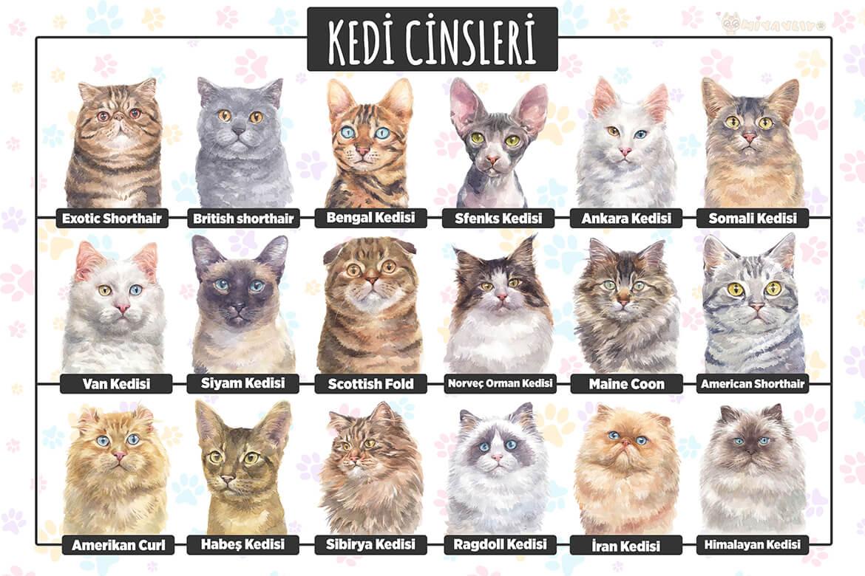 Kedi türleri - kedi ırkları