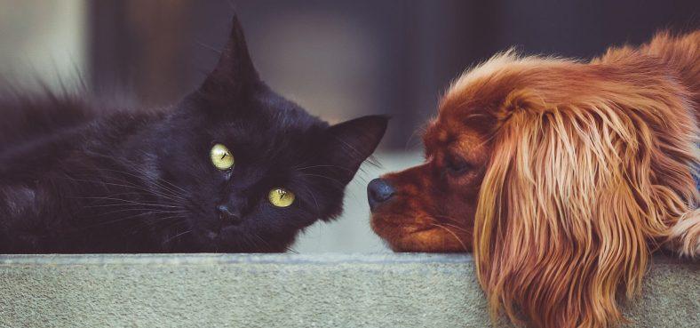 Kedi ve Köpek Birbirine Nasıl Alıştırılır?