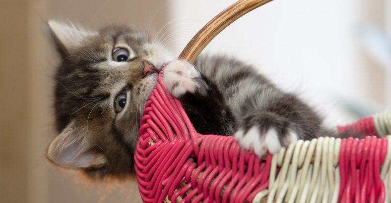 Yavru Kediler Eve Nasıl Alıştırılır?