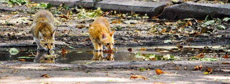 Su İçen Sokak Kedileri