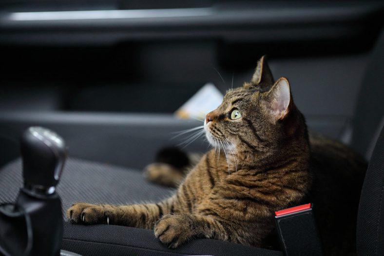 Araba Koltuğunda Oturan Kedi