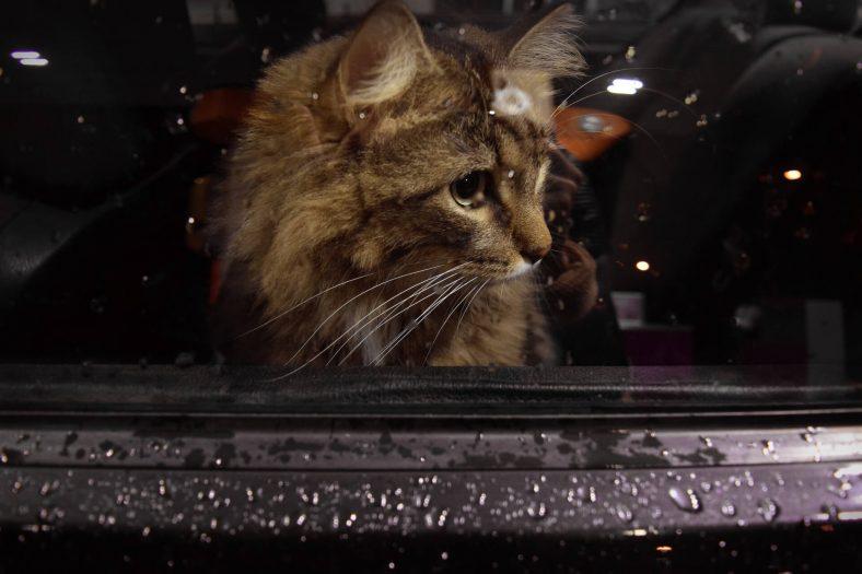 Arabadan Yağmuru İzleyen Kedi