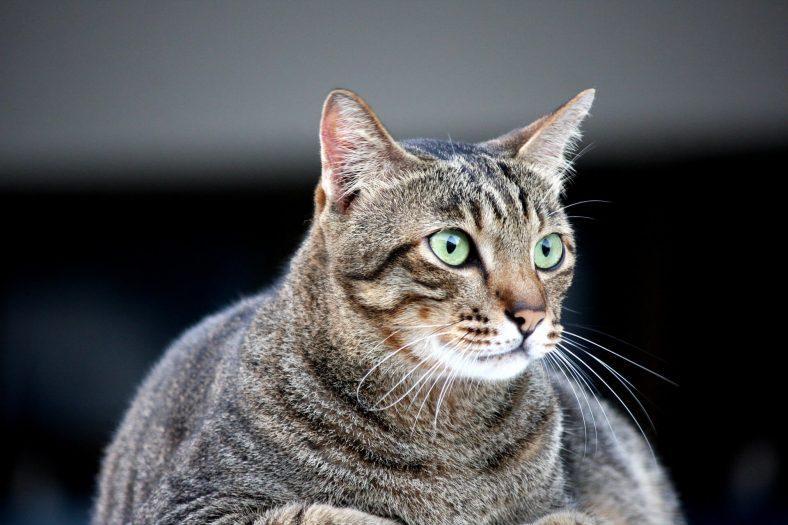 Diyabet Hastası Kedi