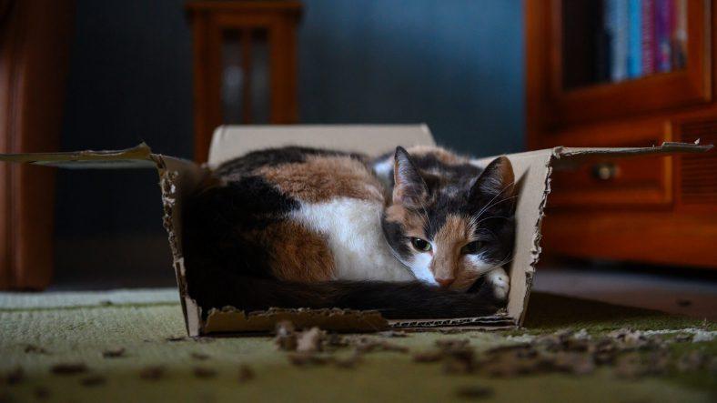 Kediler Neden Karton Kutuları Sever?