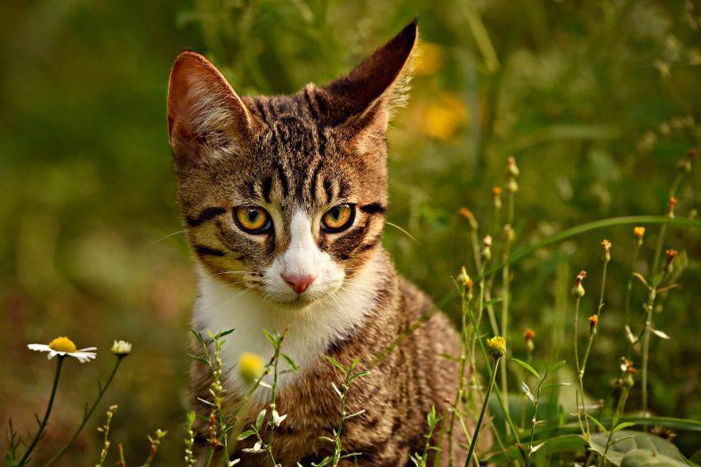 Kulağını Sese Çeviren Kedi