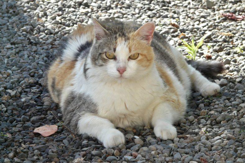 Şişmanlamış Kedi