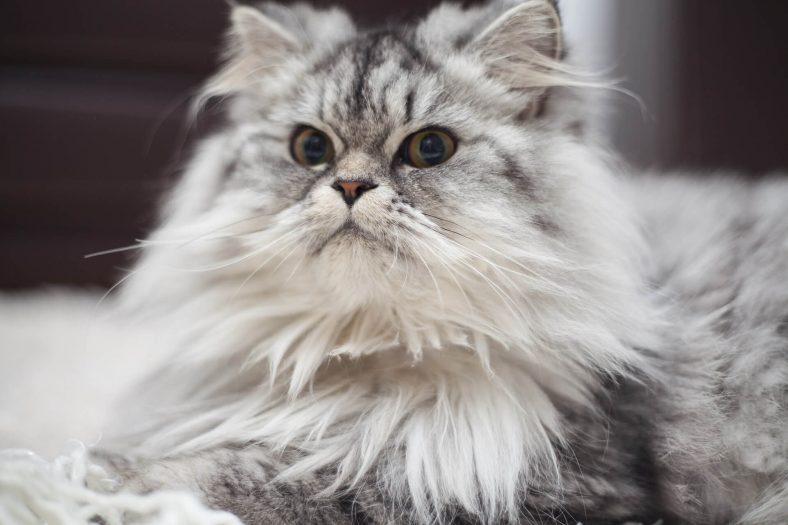 Kedilerde Tüy Dökülmesini Önleme Yolları