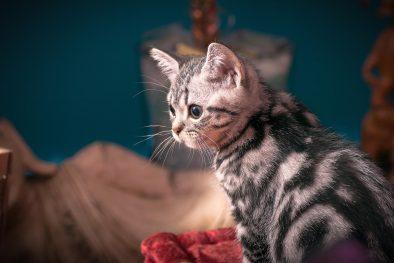 American Shorthair Kedi Yavrusu