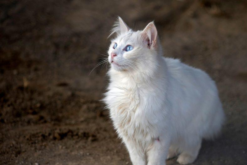 Ankara Kedi Cinsi Özellikleri ve Bakımı