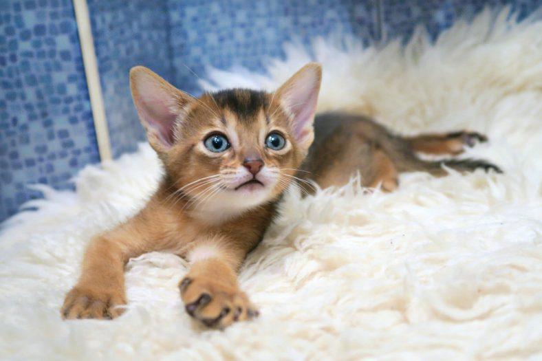 Habeş Kedi Yavrusu