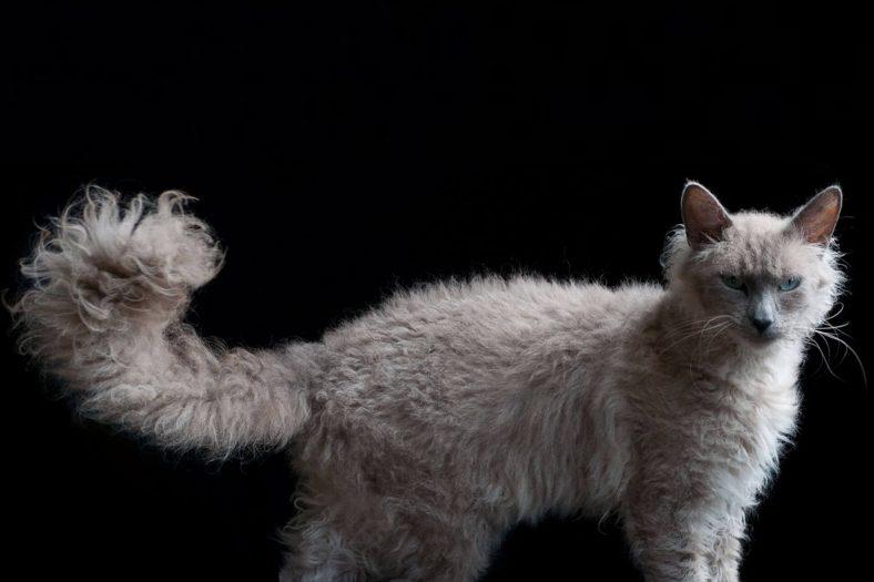Laperm Kedi Cinsi Özellikleri Ve Bakımı