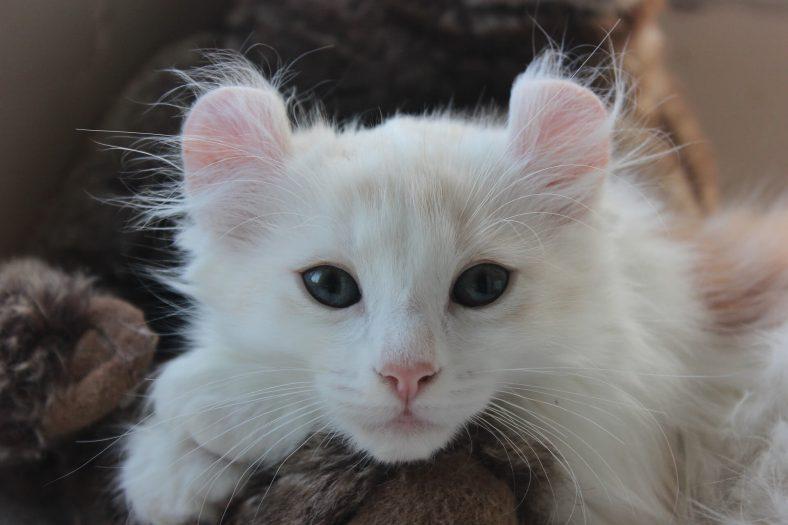 American Curl Kedi Cinsi