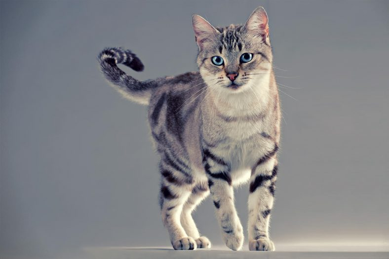 American Wirehair Kedi Cinsi