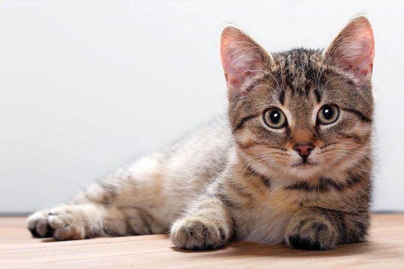 California Spangled Kedi Cinsi