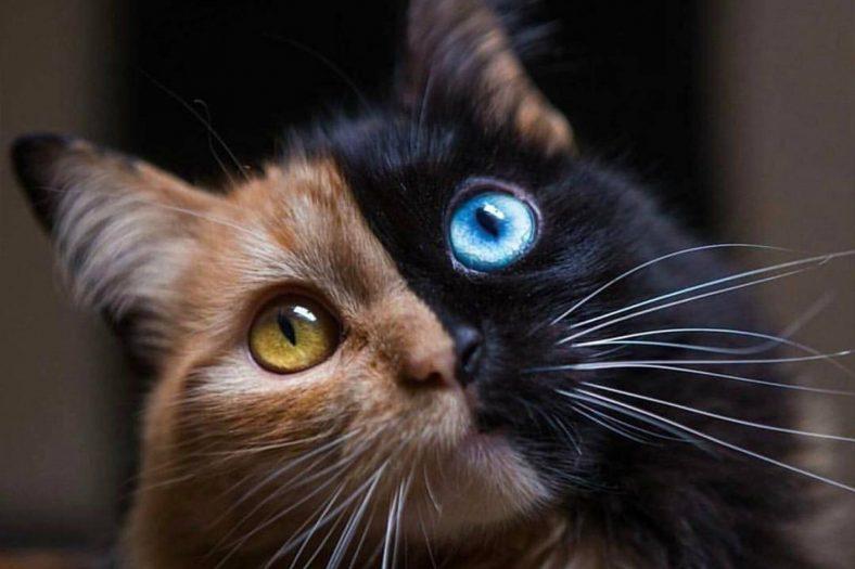 Chimera Kedi Cinsi