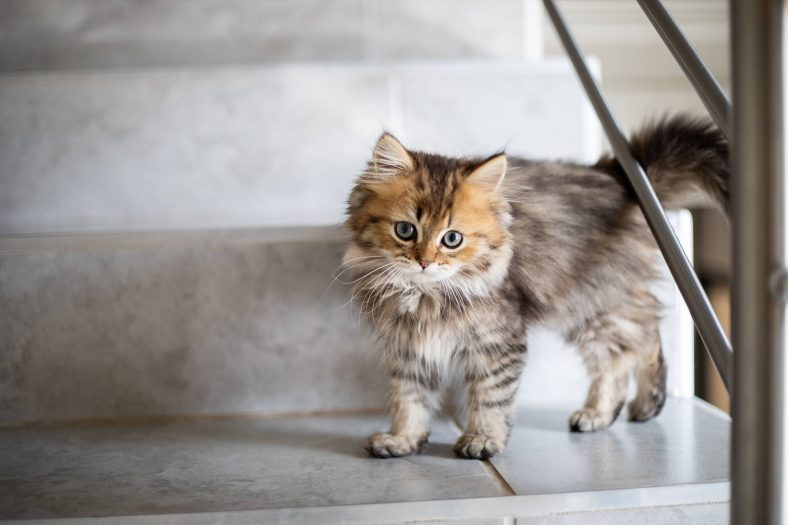 Chinchilla Cinsi Yavru Kedi