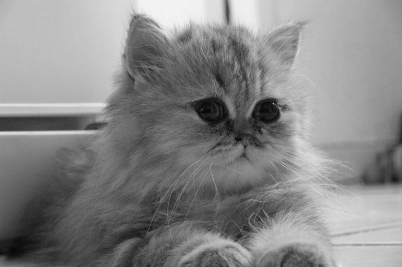 Chinchilla Kedisi Bakımı