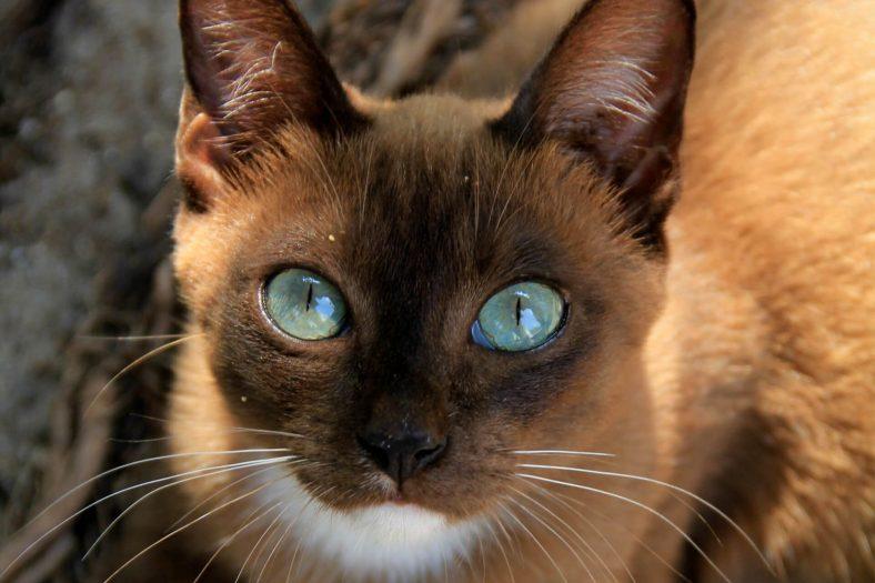 Havana Brown Kedi Cinsi