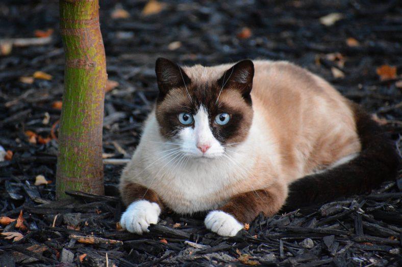 Karayak (Snowshoe) Kedi Cinsi