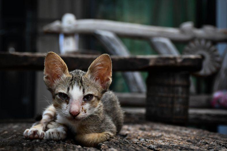 Kedilerin Genel Hastalanma Belirtileri
