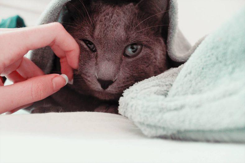 Mavi Rus (Russian Blue) Kedi Cinsi