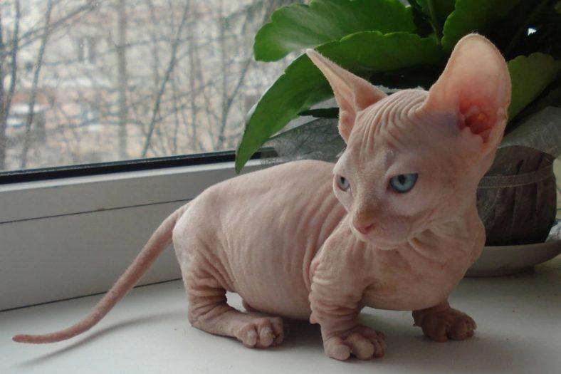 Minskin Kedi Cinsi Özellikleri Ve Bakımı