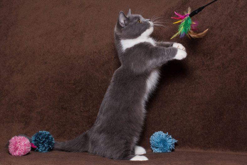 Munchkin Kedi Cinsi