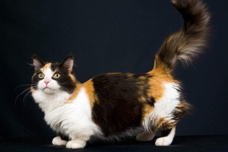Munchkin Kedi Cinsi Özellikleri ve Bakımı