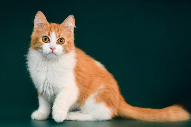 Munchkin Kedisi Fiziksel Özellikleri