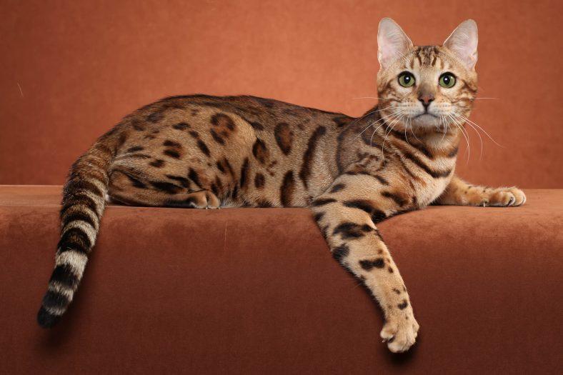 Ocicat Kedi Cinsi