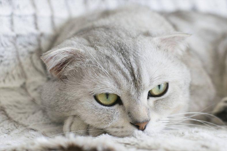 Scottish Fold Kedi Cinsi: En Güzel Kedi Cinsi