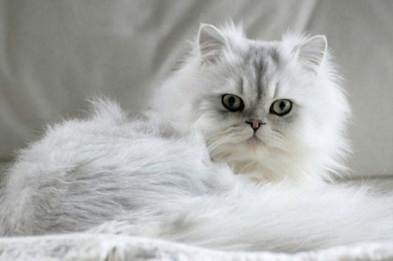 Tiffanie Kedi Cinsi