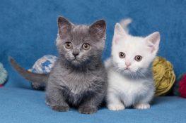 Yavru Munchkin Kediler