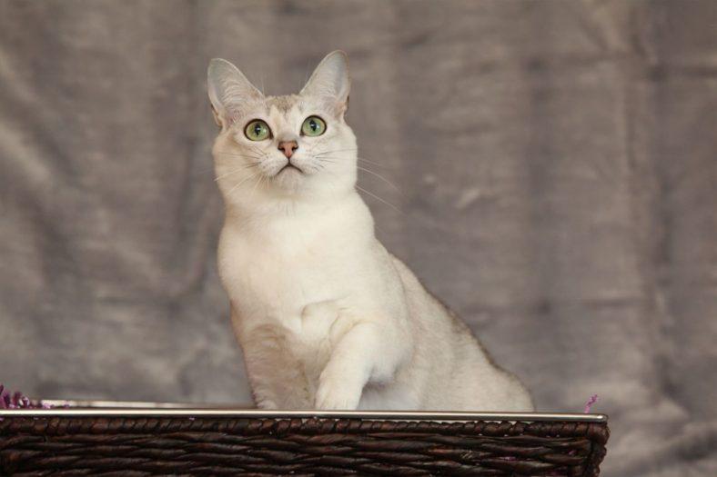 Burmilla Kedisi Bakımı