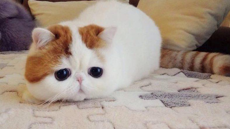 Exotic Shorthair Kedi Cinsi: En Tatlı Kedi Cinsi