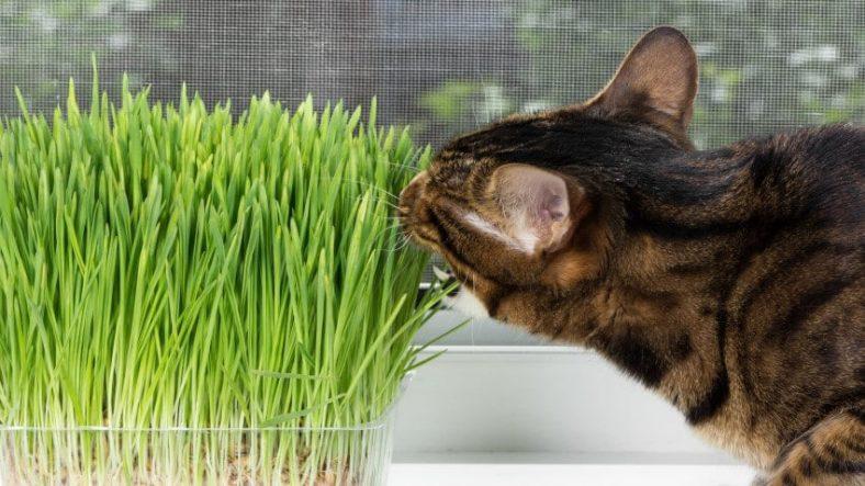 Kedi Çimi Nasıl Kullanılır?