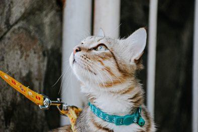 Kedi Tasması Alırken Dikkat Edilmesi Gerekenler