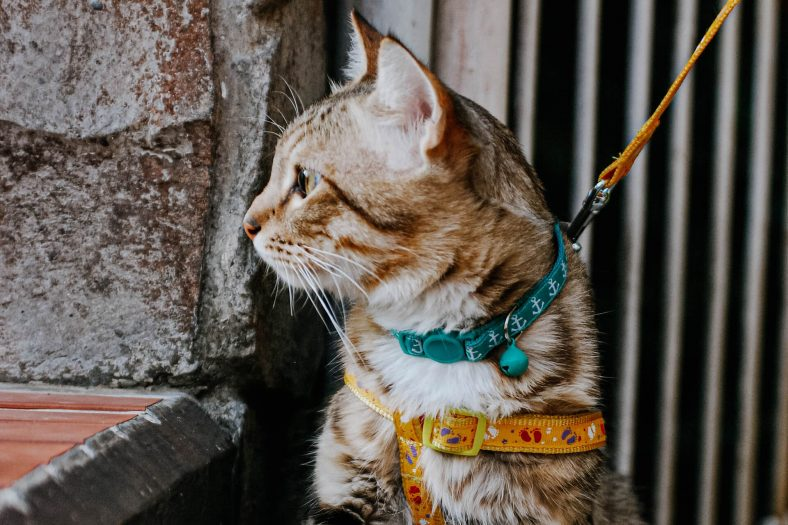 Kedi Tasması Seçerken Dikkat Edilecek Hususlar