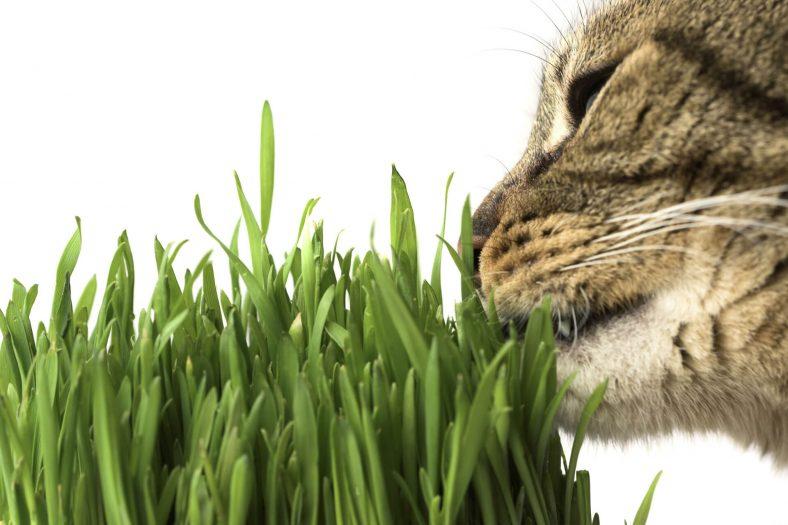 Kediler Kedi Çimi Neden Tüketmelidir?