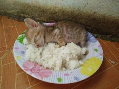 Pilav Tabağında Yatan Yavru Kedi