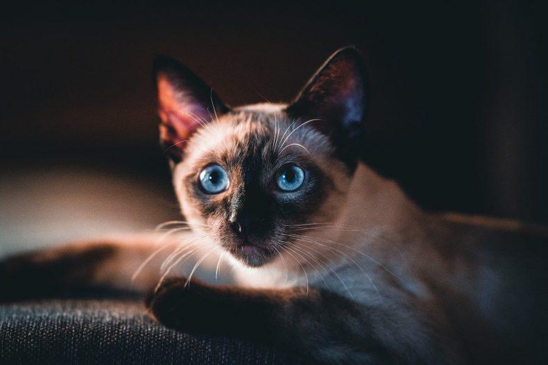 Zeytinyağı Kediler için Zararlı mıdır?