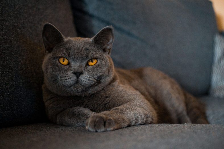 British Shorthair Kedisi