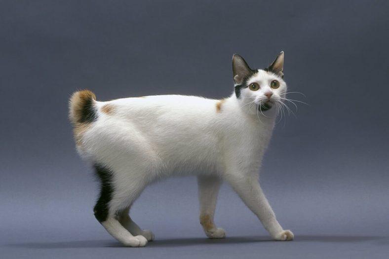 Japon Kıvrık Kuyruk Kedisi