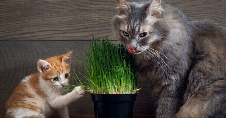Kedi Çimi Yiyen Kediler