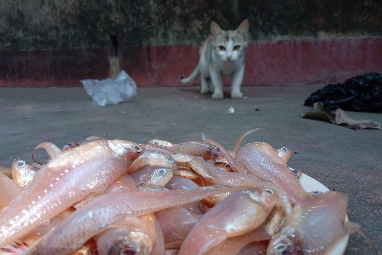 Kediler Balık Sever