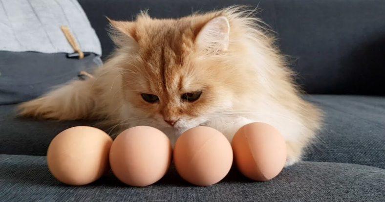 Kediye ne sıklıkla yumurta verilir?