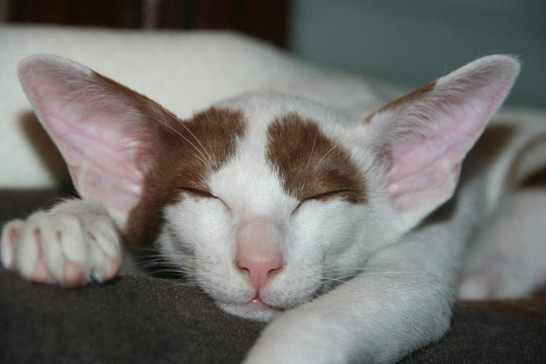 Oriental Shorthair Kedi Yavrusu