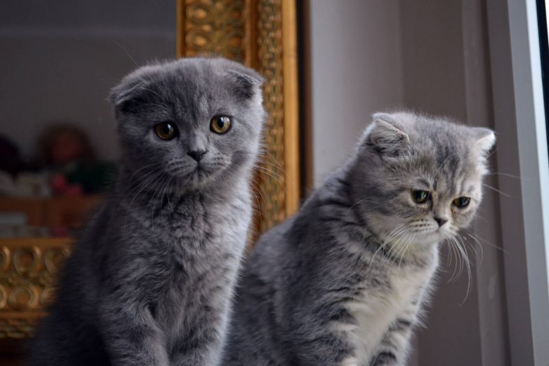 Scottish Fold Kedisi