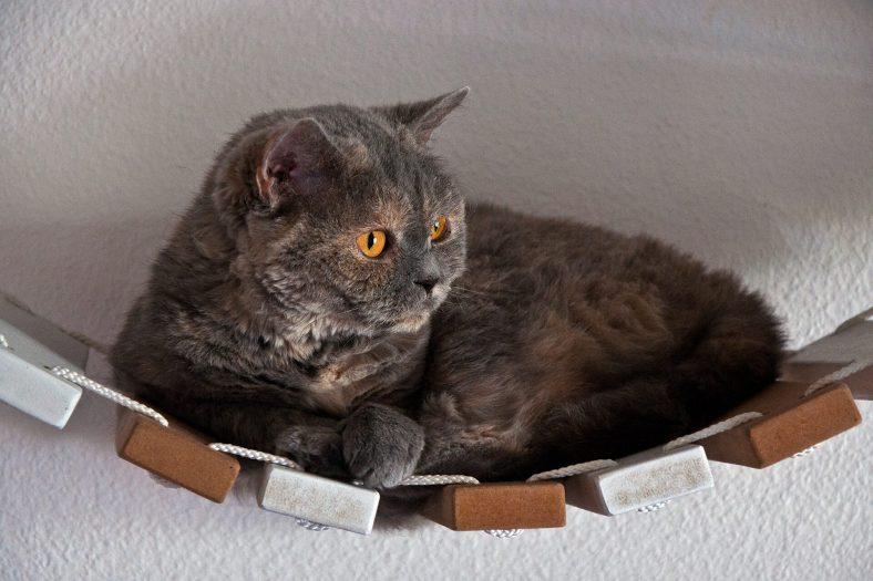 Selkirk Rex Kedisi Bakımı