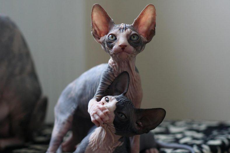 Sfenks (Sphynx) Kedisi: En Tüysüz Kedi Cinsi